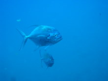 タオ島 魚 イトヒキアジ
