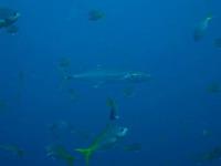 タオ島 ダイビング ヨコシマサワラ