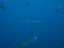 タオ島 魚 ヨコシマサワラ