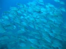 タオ島 ダイビング 魚 クロホシフエダイ群れ
