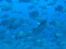 タオ島 魚 ジャワラビットフィッシュ群れ