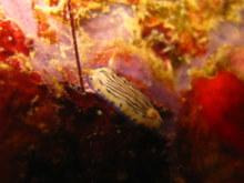 タオ島 魚 リュウモンイロウミウシ