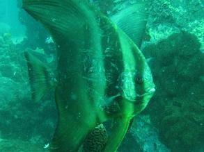 タオ島 ダイビング ツバメウオ