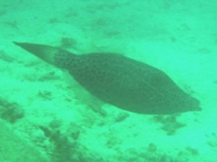 タオ島 ダイビング ソウシハギ