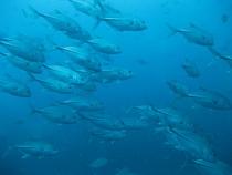 タオ島ダイビング セイルロック ギンガメアジ