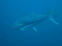 タオ島 ダイビング オオクチイケカツオ