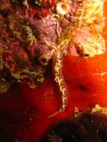 タオ島ダイビング ツインズ ヒブサミノウミウシ
