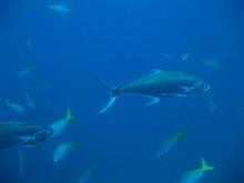 タオ島 魚 チュンポンピナクル オオクチイケカツオ