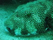 タオ島 魚 モヨウフグ