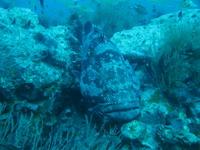 タオ島ダイビング チュンポンピナクル ヤイトハタ