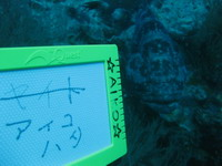 タオ島ダイビング チュンポンピナクル ハタ