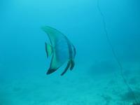 タオ島ダイビング ホワイトロック ツバメウオ