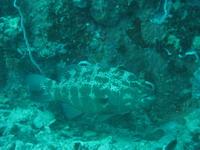 タオ島 魚 スジアラ