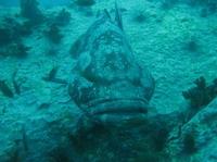 タオ島 ダイビング ヤイトハタ