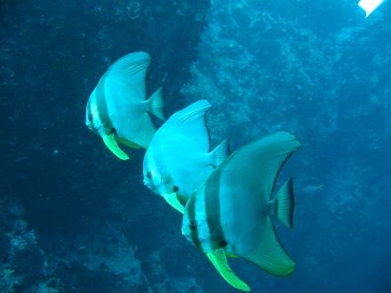 タオ島 ダイビング ツバメウオ 若者 チュンポン