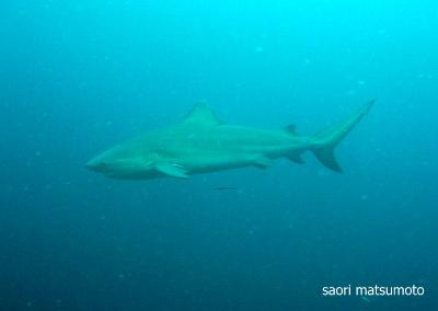 オオメジロザメ(ブルシャーク:タオ島)