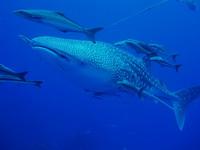 タオ島ダイビング ジンベエザメ