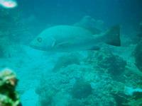 タオ島ダイビング フエダイ