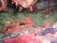 タオ島ダイビング スザクサラサエビ