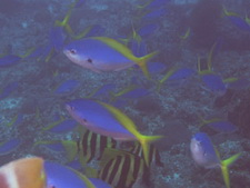 タイ タオ島 ダイビング 魚 ウメイロモドキ