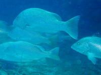 タオ島ダイビング ゴマフエダイ