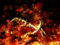 タオ島 魚 ヒブサミノウミウシ