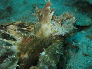 タオ島 ダイビング ヒンピーウィ― ヒメオニオコゼ