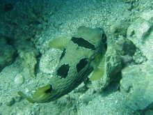 タオ島 ダイビング 魚 ヒトヅラハリセンボン