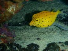 タオ島 魚 ミナミハコフグ