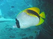 タオ島 ダイビング ニセフウライチョウチョウウオ