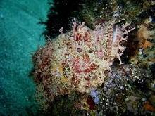タオ島 ダイビング オニカサゴ