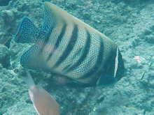 タオ島 魚 ロクセンヤッコ