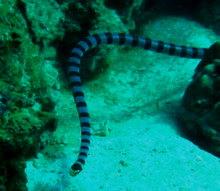 タオ島 魚 ウミヘビ