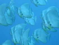タオ島 魚 ツバメウオ群れ