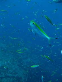 タオ島 ダイビング 魚 イエローバンドフュージュラー