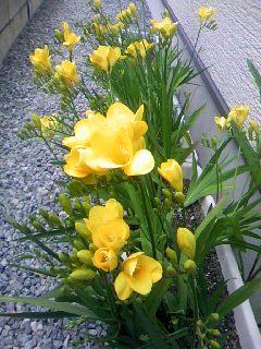 4/16フリージア開花
