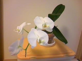 090528胡蝶蘭満開4花