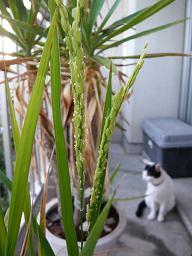バケツ稲の花とこころ