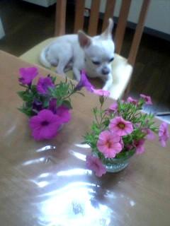 花とおじさん犬