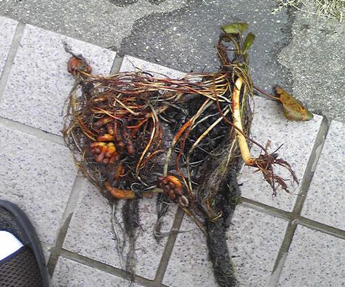 掘り出した睡蓮の株
