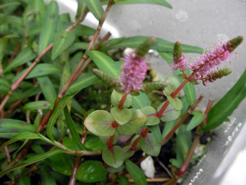 レッドリーフバコパの花