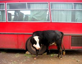 cowcow.jpg