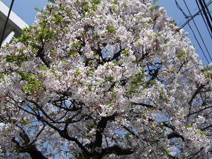 桜4月7日