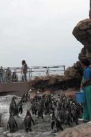 080915 ペンギン