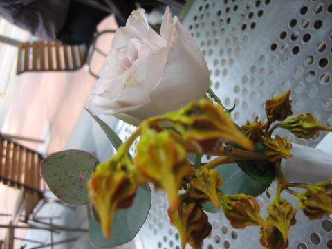 オーガニックコーヒーの花