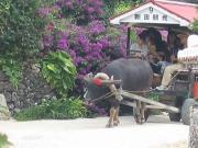 女の子水牛