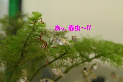 赤虫のなる木?①