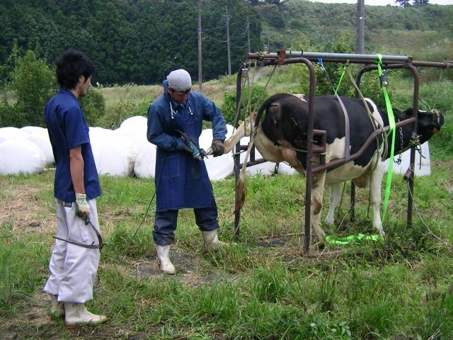 育成牛の削蹄