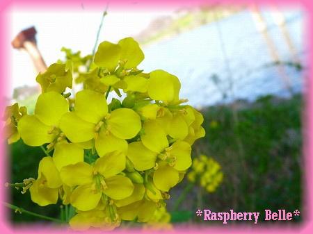 090329菜の花