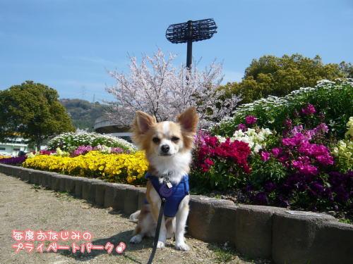 09-04 桜満開